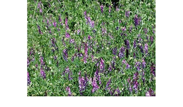 NITROGEN FIXER COVER CROP HAIRY VETCH SEEDS COMPANION PLANT TO TOMATOES