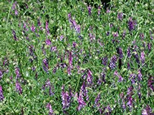 Details about HAIRY VETCH SEEDS * NITROGEN FIXER * COVER CROP * COMPANION PLANT TO TOMATOES