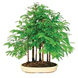 HOO PRODUCTS - Bonsai seeds 50pcs Dawn Redwood Bonsai Tree Grove - Metasequoia glyptostroboides,DIY home gardening! Very easy to grow! Hot Sale!