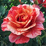 Frida Kahlo Floribunda Rose Bush - Bareroot