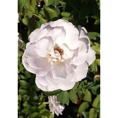 1 Live Plant White Rose 2 Gallon Bush Shrub Plant Roses Outdoor Gardening tktreas : Garden & Outdoor