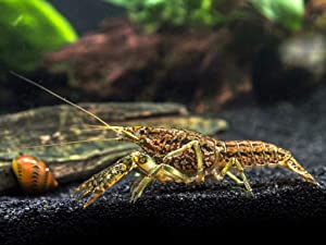 Aquatic Arts 1 Female Self-Cloning Marmorkreb Crayfish | Freshwater Procambarus Aquarium Lobster/Crawfish/Crawdad | for Fish Tanks/Aquariums