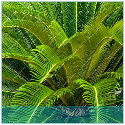 Seed 5pcs/Bag Sago Palm Tree .Bonsai Flower The Budding Rate 97% Rare Potted Plant for Home