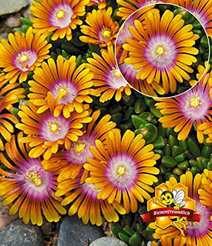 Backyard 100 Pcs Delosperma 'Sundella' Flower Seeds Hardy Perennial, Heat and Drought Resistant, Low Maintenance and Easy to Grow, Perfect for rockeries and Gravel Gardens