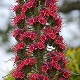 Plant World Seeds - Echium 'Red Rocket' Seeds