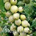 New New Arrival 50PCS A Bag Red Currant Fruit Plant Pan-american Gooseberry Seeds Lantern Fruit Seed Sementes For Garden Planting