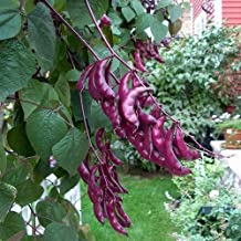 15+ Hyacinth Bean Red Leaved Seeds , very good vegetable seeds,clinbing plant