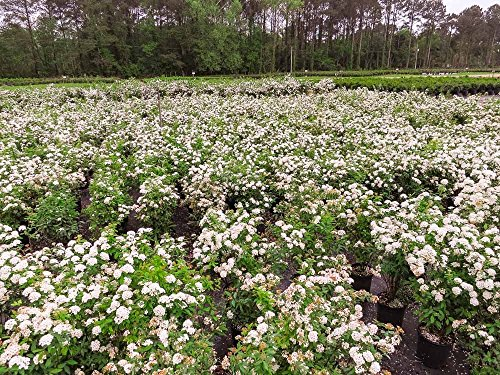Bridal Wreath SPIREA - Size: 1 Gallon, Live Plant, Includes Special Blend Fertilizer & Planting Guide by PERFECT PLANTS (Image #2)