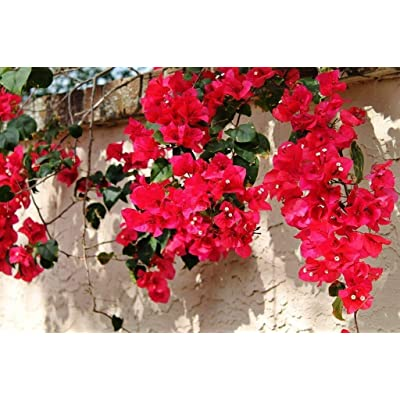 'San Diego Red' - Bougainvillea - Perennials - Bonsai: Garden & Outdoor