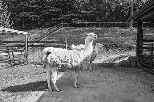 18 x 24 B&W Photo Llamas at The Petting Zoo The Heritage Farm Museum Village in Harveytown, West Virginia, just South Downtown Huntington 2015 Highsmith 41a