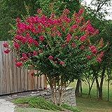 Tonto Fuschia Red Crape Myrtle Tree - Live Plant - Full Gallon Pot
