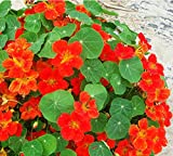 100% Genuine! New Garden Plant 10pcs Fresh Colorful Tropaeolum majus Nasturtium Seeds Easy Planting flower Hanging Plants