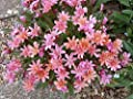 20 Lewisia longipetala (Little PLUM Bitterroot) Excellent in containers