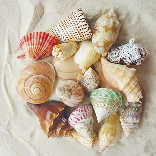 "Tumbler Home Polished Sea Shells – Sizes 2.25"" to 4"" - Approx. 20 Beach Shells in Mixed Colors – 1.75 Lb Nautical Beach Décor (Mermaid Themed Party Ideas)"