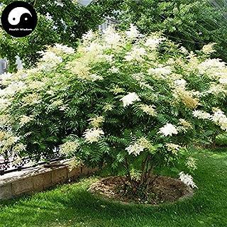 PLAT FIRM Germinazione dei semi: 30pcs: Acquistate Sorbaria sorbifolia Albero semi di piante Sorbaria sorbifolia Per Zhen Zhu Mei