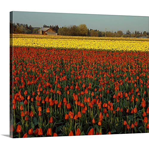 Blue Tulip Gallery - greatBIGcanvas Gallery-Wrapped Canvas Entitled Tulips in Mt. Vernon IKE Leahy 36