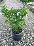Tabernaemontana divaricata, Crape Jasmine, Florida Gardenia, Tabernaemontana coronaria - 3 Gallon - 4 pack