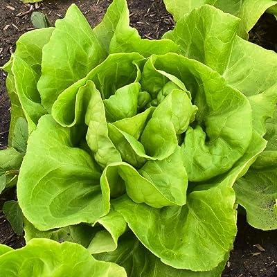 100 pcs Lettuce Seeds Premium Heirloom Seeds Amazing Flavor : Garden & Outdoor