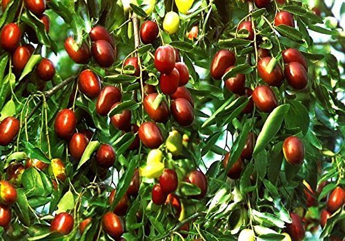 4 Pound (1816 grams) dried fruit jujube high grade Chinese red dates Hong Zao from Xingjiang