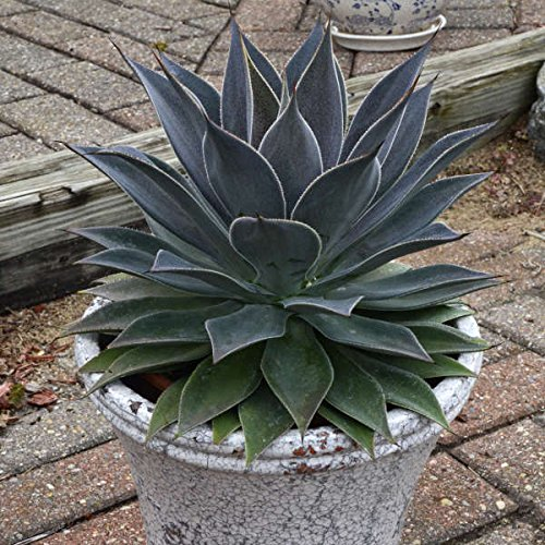 1 Starter Plant Lavender Lady Mangave in 3.5'' Pot