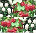 European Highbush CRANBERRY - Shrub Tree Seeds - ATTRACTS HONEY BEES & BUTTERFLIES - Height: 8 to 15 feet - Hardy Zones 3 - 8