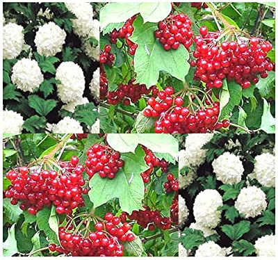 4 Packs x 5 European Highbush CRANBERRY - Shrub Tree Seeds - ATTRACTS HONEY BEES & BUTTERFLIES - Height: 8 to 15 feet - Hardy Zones 3 - 8 - By MySeeds.Co