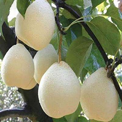 Dserw 20pcs Delicious Juicy Crystal Pear Fruit Seed Garden Garden Tree Potted Landscape Plant Decoration : Garden & Outdoor