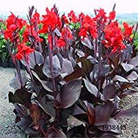 Flor hermosa de 10 pequeñas semillas de lirio de canna, planta de jardín, semillas de flores, estanque B090