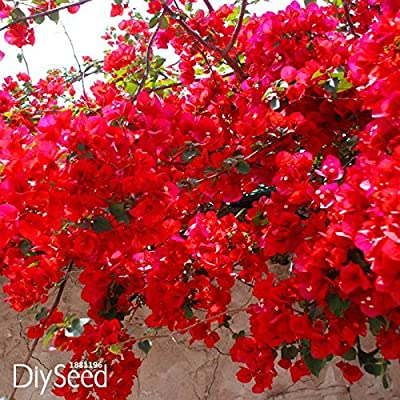 Loss Promotion!100 PCS / bag Red Bougainvillea Spectabilis Seeds Perennial Bonsai Plant Seeds Bougainvillea Flower Seeds, #KK3MIH : Garden & Outdoor