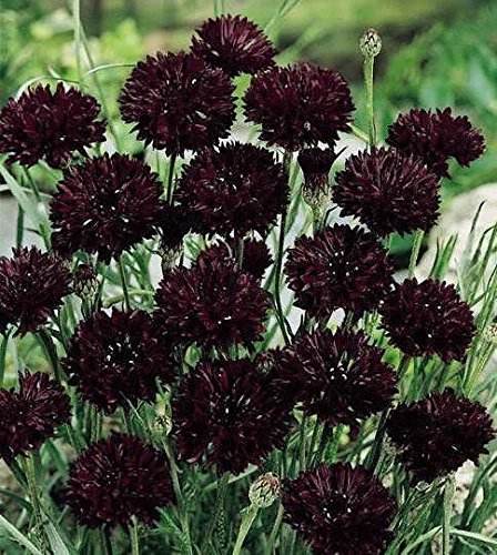 Garnet Button - 50 BLACK GARNET CORNFLOWER Seeds, BACHELORS BUTTON