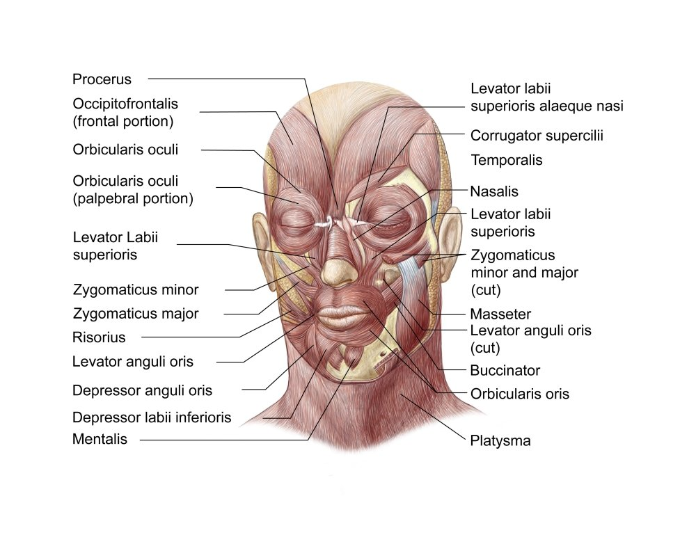 Amazon Facial Muscles Of The Human Face With Labels Poster