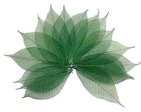 100 hojas de esqueleto verde de goma, árbol natural para ...