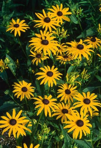 (Heirloom BLACK EYED SUSAN (Rudbeckia) 35+Perennial Seeds)