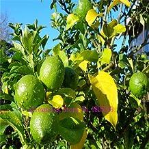 50 LEMON TREE SEEDS WITH HERMETIC PACKING * indoor outdoor AVAILABLE * HEIRLOOM FRUIT SEEDS LEMON seeds