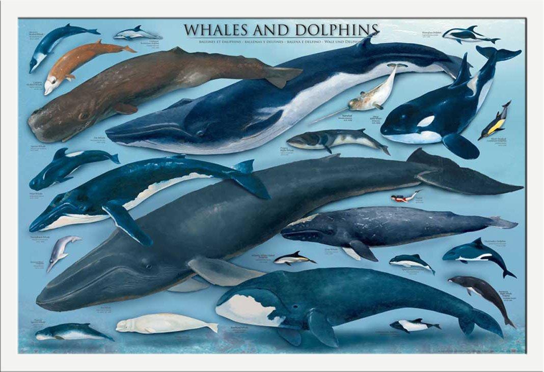 É Dauphins Accessoire Empire Et Poster Avec Inclus Ducatif Baleines CtdQshr