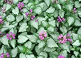 Orchid Frost Lamium Set of 3 Pots Groundcover Plants
