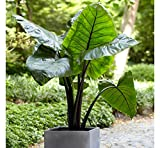 3 Large Elephant Ear Black Stem -Colocasia esculenta- Add a tropical look
