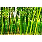 Creative Farmer Giant Thorny Bamboo Seeds (Pack of 50 Seeds