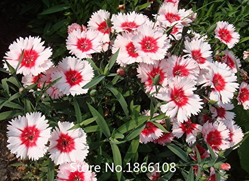 home & garden Promotion! 200 Dianthus Seeds , 16 kinds mixed packed, Sweet William flower, easy to grow ,high germination DIY ga (Sweet William Grow)