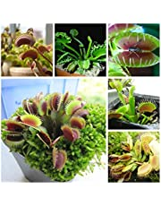 Dionaea Muscipula Giant Clip Venus Fly Trap Seeds 100pcs Insectivorous Seed Garden Plant Seed Bonsai Family Potted