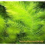 5 Bund/Portionen Hornkraut, Ceratophyllum demersum, für Teich und Aquarium