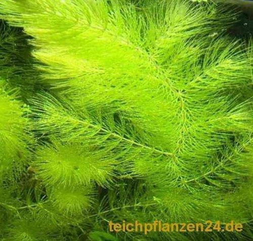 f/ür Teich und Aquarium 3 Bund//Portionen Hornkraut Ceratophyllum demersum
