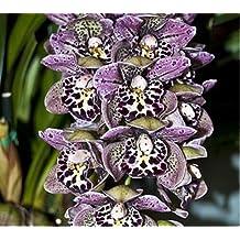 Unique Purple Spots Cymbidium Faberi Decorative Balcony Bonsai Plants Color Orchid Flower Seeds