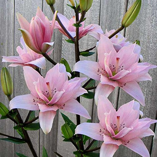 5 Elodie Double Asiatic Lily -