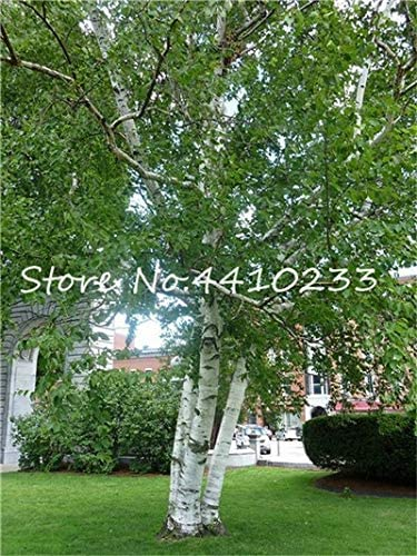 Amazon Com 100 Pcs White Birch Tree Bonsai Rare Heirloom Sacred White Birch A High Survival Rate Of Trees Planted Garden Courtyard Tropic Color I Garden Outdoor
