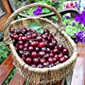 20 Pcs/Bag Cherry Seeds Home Indoor Fruit Bonsai Dwarf Cherry Tree Seed Planting by Steve.K Store