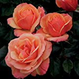 """Anna's Promise Rose Bush - Downton Abbey Series - Fragrant Pink Bronze Flowers Grown Organic 4"""" Potted"""