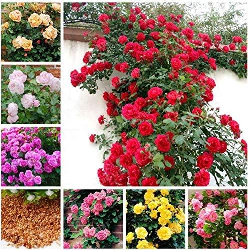 Portal Cool 100 Pcs Bolsa rosales trepadores Semillas Semillas de flor china de Jardines Bonsai S: Amazon.es: Hogar