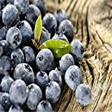 Big Sales!!! 200 american giant blueberry fruit seeds Germination 95%+