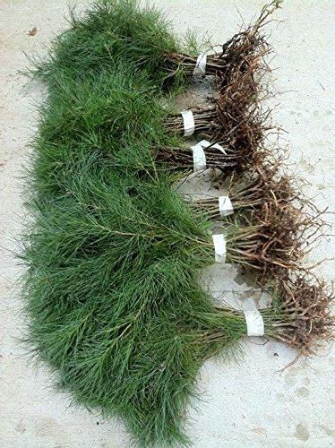 32 white pine starter trees 6-8 inch evergreen transplant Saplings … #STX8